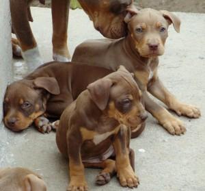 Трехцветные щенки